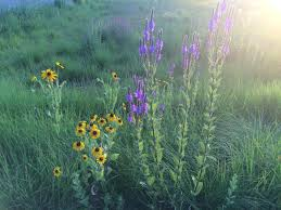 minnesota native plants minnesota native plants archives humane gardener