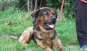 australian shepherd x rottweiler mick u2013 2 year old male german shepherd cross rottweiler dog for