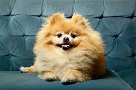 american eskimo dog vs pomeranian pomeranian dog breed information pictures characteristics