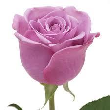 lavender roses roses lavender 125 stems sam s club