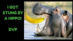 Hippo Memes - dvp i got stung by a hippo make this a dank meme cringe