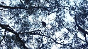 looking for balls in the trees picture of cape otway