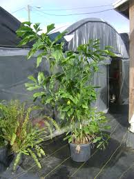 unusual garden ideas outdoor u0026 garden charming robellini palm tree for home