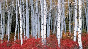 birch tree wallpaper hd desktop wallpapers 4k hd