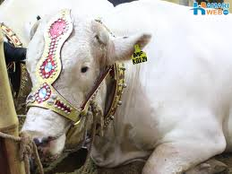 white beautiful bull in cattle farm 2015 bakra eid images u0026 photos