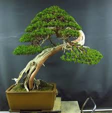 pot bonsai design shimpaku clean up and styling peter tea bonsai