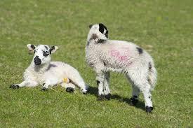 free stock photo of spring lambs photoeverywhere