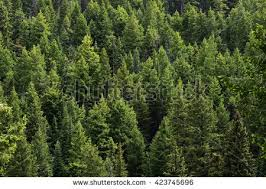 evergreen tree stock images royalty free images vectors