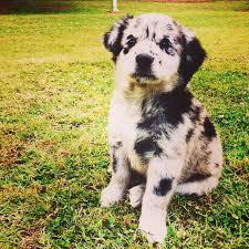australian shepherd lab puppy 17 best images about cuteness on pinterest australian shepherd