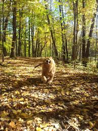 happy bear dog running through the forest with it s stick toy