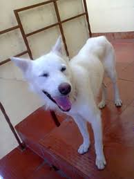 american pitbull terrier in bangalore dogs india all about dogs breeders breeds indian breeds and
