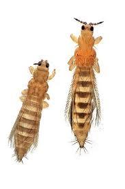 larven in der k che fransenflügler