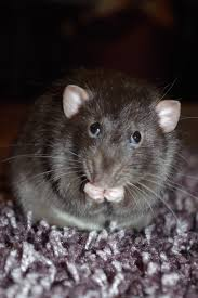 free images mouse animal cute pet fluffy mammal whisker