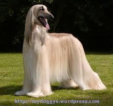 afghan hound black hair pet dog u2013 beauty afghan hound my doggy worlds