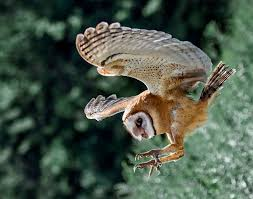 What Does A Barn Owl Look Like 10 Fascinating Facts About Owls