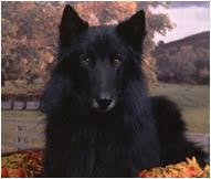 belgian sheepdog types belgian sheepdog breed facts and personality traits hill u0027s pet