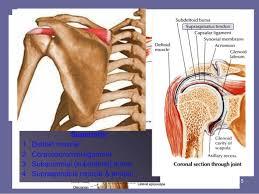 Human Shoulder Diagram Shoulder Anatomy