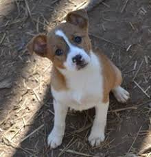 australian shepherd english bulldog mix view ad australian shepherd jack russell terrier mix dog for