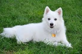 american eskimo dog virginia american eskimo dog breed information and pictures on puppyfinder com