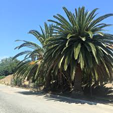 canary island palm tree transplanting