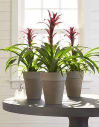 bromeliad potted indoor plants adding indoor plants that produce