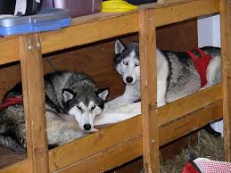 dog barn tsuga racing siberian huskies mid distance sleddog team mike