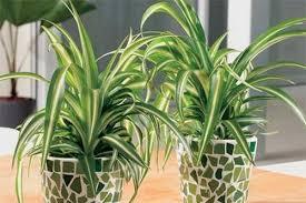 indoor plants india 10 popular indoor houseplants that purify air
