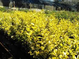 era nurseries buy trees online wholesale australian native cheap plants for sale online sydney melbourne brisbane