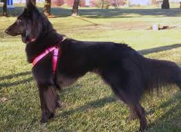 belgian sheepdog health problems about the bsd belgian sheepdog rescue trust
