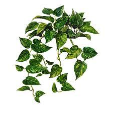 araceae or arum family
