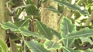 native nz plants new zealand native plant tarata youtube