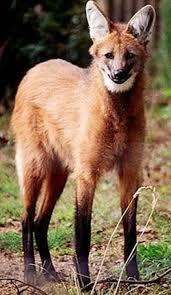 imagenes sorprendentes de lobos curioso lobo de crin dogguie