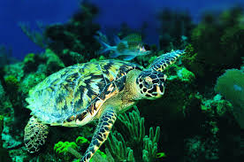 gallery for u003e sea turtle wallpapers
