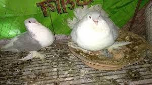 category ornamental pigeons