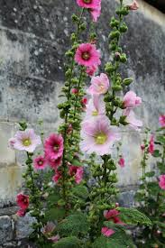 growing hollyhocks a traditional cottage garden favorite