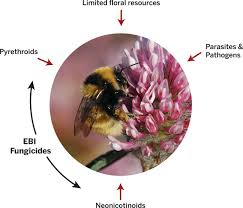 bee declines driven by combined stress from parasites pesticides