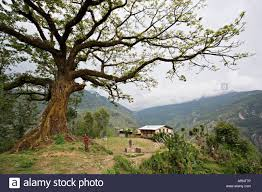 bodhi tree remote near the border with tibet in nepal