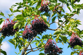 fast growing native plants growing elderberries how to grow elderberry plants