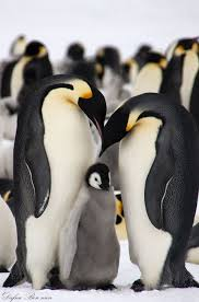emperor penguin gzsihai com
