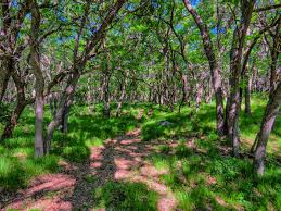 North Dakota Forest images Burr oak forest on the prairie pic for today jpg
