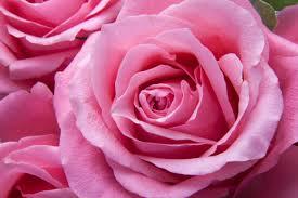 free images nature flower petal pink flora flowers