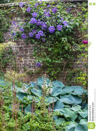 garden wall beautiful purple flowers of clematis over old garden wall stock