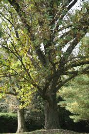 bur oak u2013 delaware trees