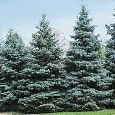 blue spruce trees kaycock blue spruce