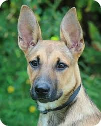 belgian shepherd rescue dogs amber belgian malinois german shepherd mix 18 months old