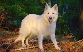 affenpinscher vs german shepherd german shepherd dog vs berger blanc suisse dog breed atlas