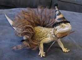 Bearded Dragon Halloween Costume 204 Bearded Dragons Images Amphibians