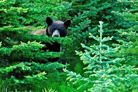 brown bear in the woods wallpaper allwallpaper in 383 pc en