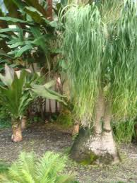 growing ponytail palm outdoors how to grow a ponytail palm outside