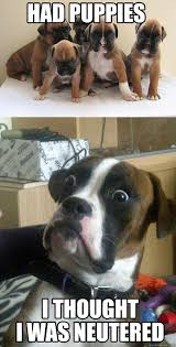Funny Boxer Dog Memes - baffled boxer now 1 pleated jeans